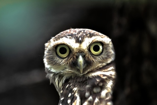Free Big Eyed Owl Picture for Android, iPhone and iPad