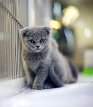 Grey Kitten Wallpaper for Nokia Asha 308