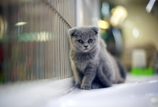 Grey Kitten Background for Android, iPhone and iPad
