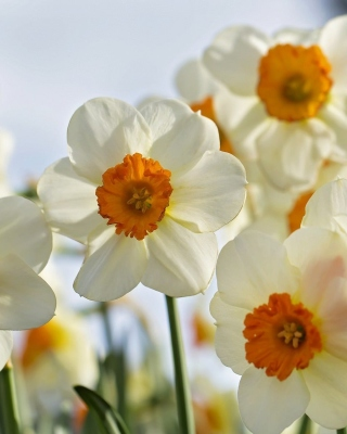 Daffodils Spring Background for 240x320