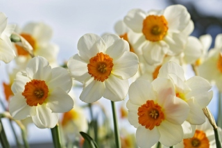 Daffodils Spring Background for 1600x1200