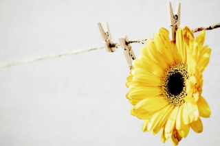 Free Golden-Daisy With Pin Picture for Android, iPhone and iPad