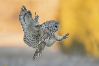 Snowy owl Wallpaper for Android, iPhone and iPad