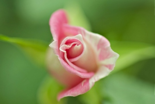 Free Soft Pink Rose Picture for 320x240