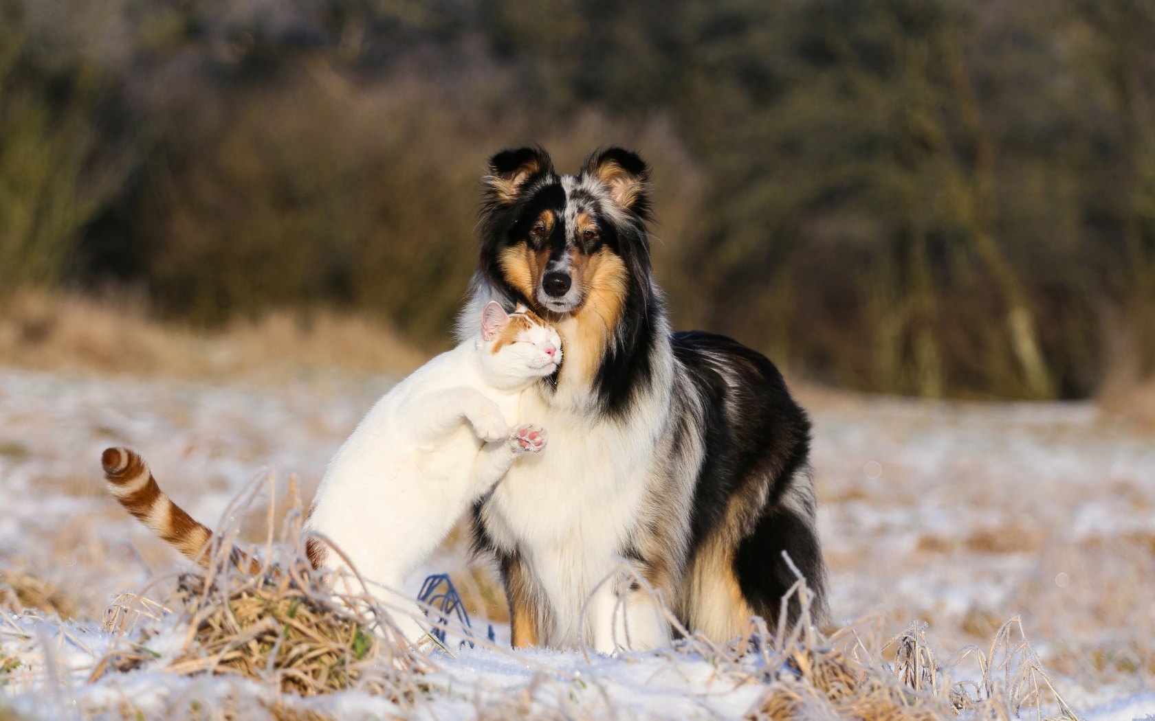 Screenshot №1 pro téma Friendship Cat and Dog Collie 1680x1050