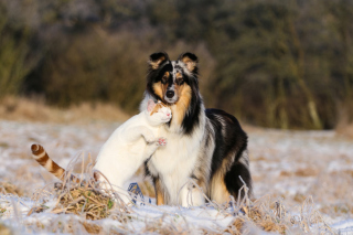 Free Friendship Cat and Dog Collie Picture for Android, iPhone and iPad