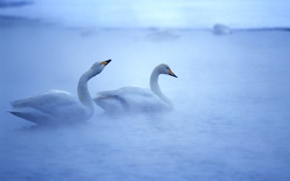 White Swans Picture for Android, iPhone and iPad