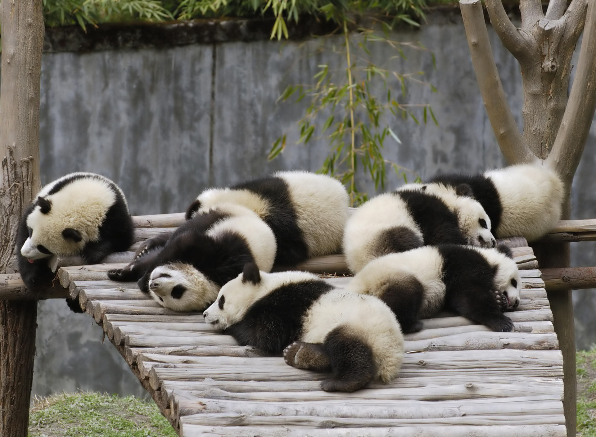 Das Funny Pandas Relaxing Wallpaper 1920x1408