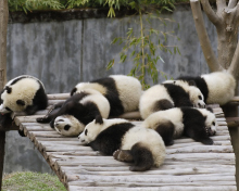 Funny Pandas Relaxing wallpaper 220x176