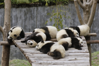 Funny Pandas Relaxing Wallpaper for Android, iPhone and iPad