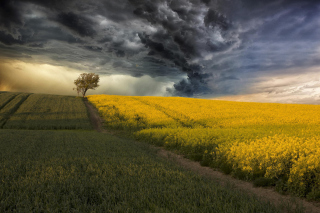 Canola Field sfondi gratuiti per cellulari Android, iPhone, iPad e desktop