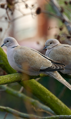 Gray Pigeons wallpaper 240x400