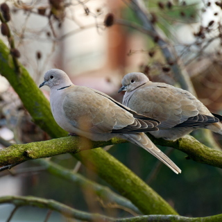 Gray Pigeons Wallpaper for iPad