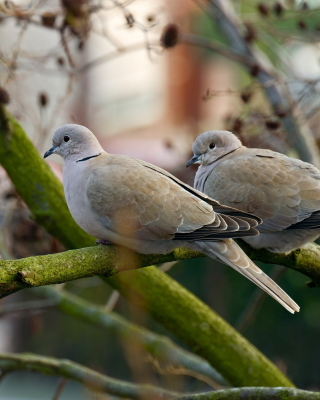 Gray Pigeons Wallpaper for Nokia Asha 306