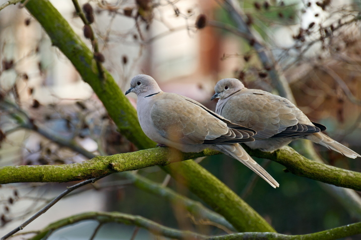 Gray Pigeons wallpaper
