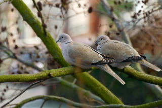 Gray Pigeons Wallpaper for HTC Desire HD