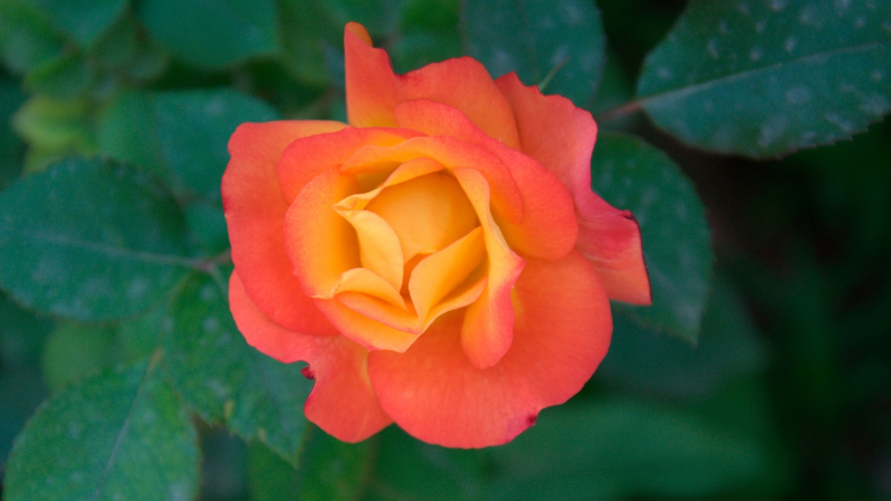 Das Orange Rose Wallpaper 1280x720