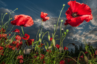 Poppy Field Hdr Background for Desktop 1920x1080 Full HD