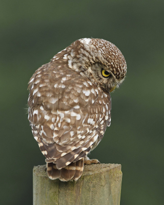 Owl Wallpaper for Nokia Asha 306