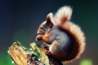Squirrel Eating A Nut Wallpaper for Android, iPhone and iPad