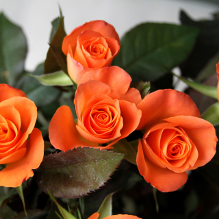 Orange roses sfondi gratuiti per iPad Air