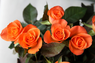 Orange roses Background for Android, iPhone and iPad