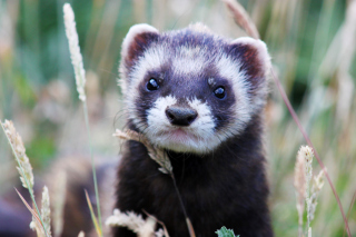 Weasel Background for Android, iPhone and iPad