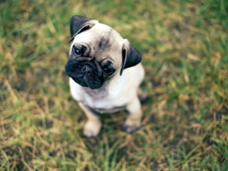 Screenshot №1 pro téma Cute Pug On Grass 320x240