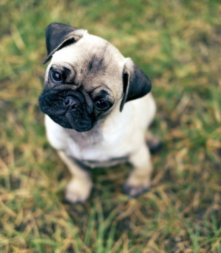 Free Cute Pug On Grass Picture for Nokia C1-01