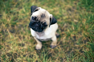 Картинка Cute Pug On Grass для телефона и на рабочий стол