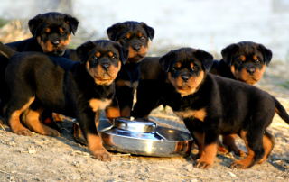 Rottweiler Wallpaper for Android, iPhone and iPad