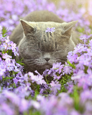 Sleepy Grey Cat Among Purple Flowers Background for HTC Titan