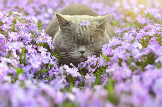 Kostenloses Sleepy Grey Cat Among Purple Flowers Wallpaper für Android, iPhone und iPad