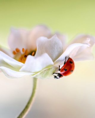 Lady beetle on White Flower Picture for iPhone 6 Plus