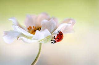 Lady beetle on White Flower Wallpaper for Android, iPhone and iPad