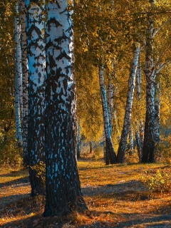 Screenshot №1 pro téma Russian landscape with birch trees 240x320