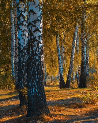 Russian landscape with birch trees Background for 320x480