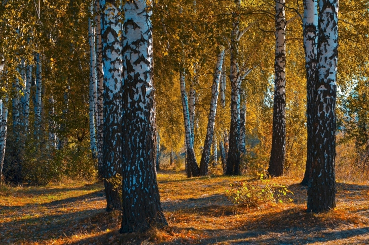 Russian landscape with birch trees wallpaper