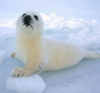 Seal Baby Wallpaper for iPad 3