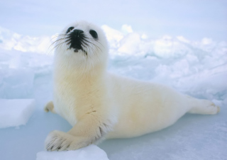 Free Seal Baby Picture for HTC Desire