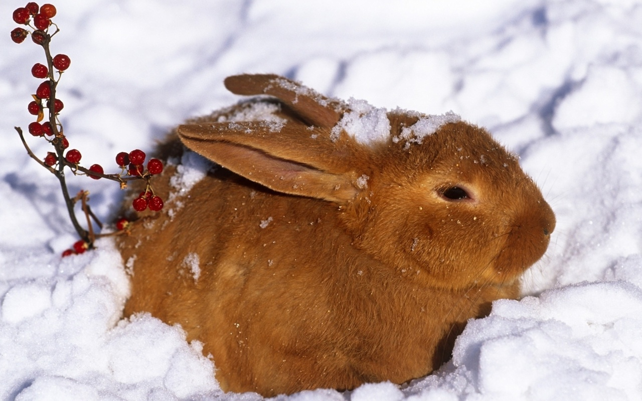Screenshot №1 pro téma Rabbit in Snow 1280x800