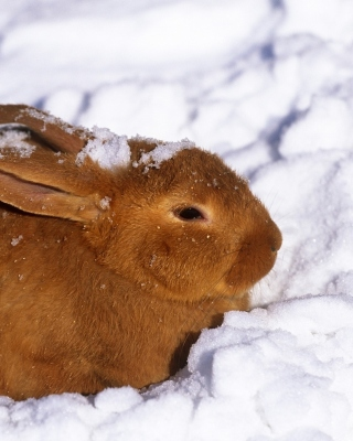 Rabbit in Snow sfondi gratuiti per 320x480