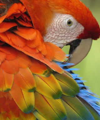 Parrot Close Up Background for HTC Titan