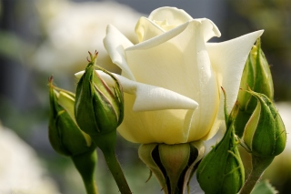 Free White Rose Closeup Picture for Android, iPhone and iPad