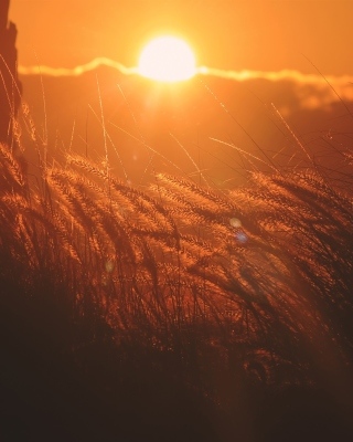 Sunset Corn Wallpaper for iPhone 5S