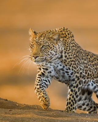 Leopard Wallpaper for Nokia Asha 306