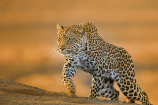 Free Leopard Picture for 220x176