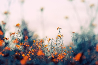 Field Of Orange Flowers Wallpaper for Android, iPhone and iPad