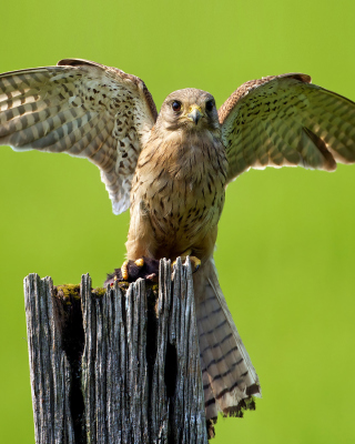 Hawk Wallpaper for Nokia Asha 306
