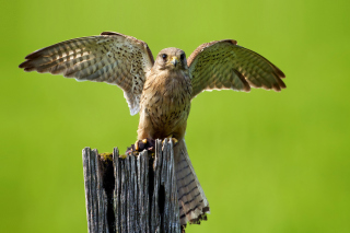 Hawk Picture for Android, iPhone and iPad